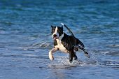 stock photo of pitbull  - Dog pitbull runs along the sea beach. Dog licks lips, it is washed by the waves.