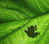 Sitting frog shadow on a leaf