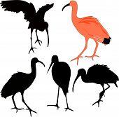 ibis red birds