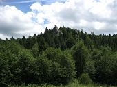forest with many trees in Carpathian mountains