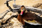 Black Bvellied Whistling Duck