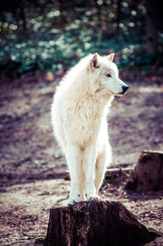 picture of white wolf  - Arctic white wolf in vienna zoo - JPG