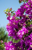 Flowering Bougainvillea Branch On The Sky Background