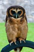 Close Up Portrait Of Brown Wood Owl Against Green Background