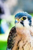 stock photo of small-hawk  - Close up portrait of small hawk against green background - JPG