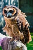 Close Up Portrait Of Brown Wood Owl Sitting On Falconer Glove