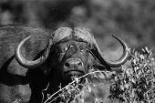 Cape Buffalo Mud Play In Mud To Cool Down Protect From Insects