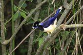 Plush-crested Jay (Cyanocorax chrysops)