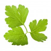 Backlit flat parsley leaf isolated