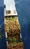 Transportation Coconut By Boat, Polluted Water
