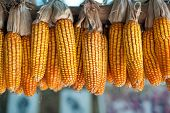 picture of corn cob close-up  - Ripe dried corn cobs hanging - JPG