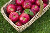 Wicker basket full of red ripe Honeycrisp apples.