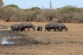 Hippos standing on river bank