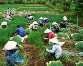 Vietnamese Farmer Harvest Vietnam Onion Farm