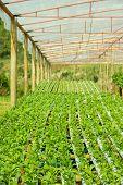 Arugula Plants Growing In Hydroponic Culture