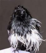 Humorous Wet Magpie