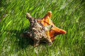 Conch In Sea Grass Close