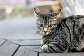 Tabby Cat Looking At Camera On A Wooden Benches