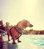 a cute dog at a local public pool toned with a retro vintage instagram filter effect and back lit b