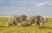 picture of terrestrial animal  - Group of African bush elephants  - JPG