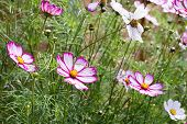 Small clump of Cosmos