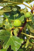 Young Figs Among The Green Leaves Of The Fig Tree