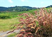 stock photo of fountain grass  - Landscape of fountain grasses with hill background