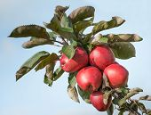 Red Colored Apples On The Branche From Close