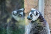 Lemur Looks At The Reflection