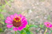 picture of zinnias  - Pink zinnia blossom at bottom left closeup - JPG