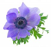one blue anemone flower