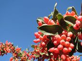 pic of barberry  - Red Barberry that you are a seed tart - JPG