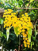 Colorful Orchid Species Yellow Dendrobium Lindleyi Flower In Nature