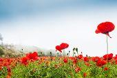 stock photo of poppy flower  - Field with a beautiful decorative red poppy flowers, Santorini island Greece.  ** Note: Shallow depth of field - JPG