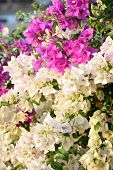 pink and white bougainvillea flowers