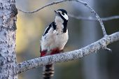 picture of greater  - a greater spotted woodpecker  - JPG