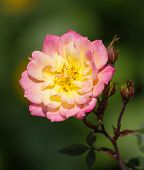 Yellow Rose Flower In A Garden