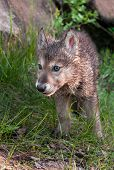 Grey Wolf (canis Lupus) Pup Walks Forward