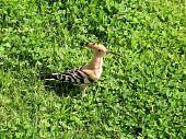 Or Yehuda Park Canada Hoopoe 2007