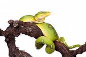 pic of green tree python  - Emerald tree boa - JPG