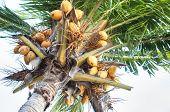 Fruitful Coconut Tree