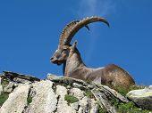 Majestic Alpine Ibex