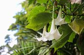 stock photo of datura  - white datura flower growing in the forest - JPG
