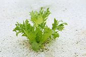 picture of fillies  - Fillie Iceburg Lettuce hydroponics in vegetable garden - JPG
