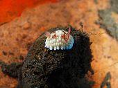 pic of slug  - The surprising underwater world of the Bali basin, true sea slug ** Note: Shallow depth of field - JPG