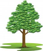Beech Tree - Illustration