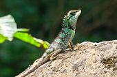 picture of lizards  - Green crested lizard black face lizard tree lizard