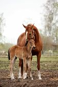 Brown Cute Foal Portrait With His Mother
