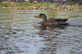 Female Mallard Swimming Around Her Hunting Area