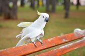 White Parrot - Sulphur-crested Cockatoo - Cacatua Galerita On A A Bench In A Park